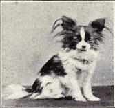 papillon_from_1915