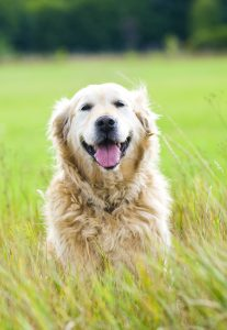 Beautiful Golden Retriever Sat in a Field